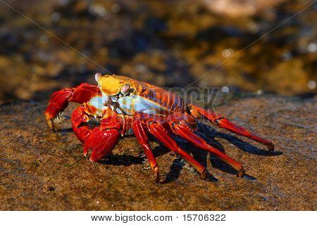 Sally Lightfoot Crab on the Galapagos Islands, Ecuador