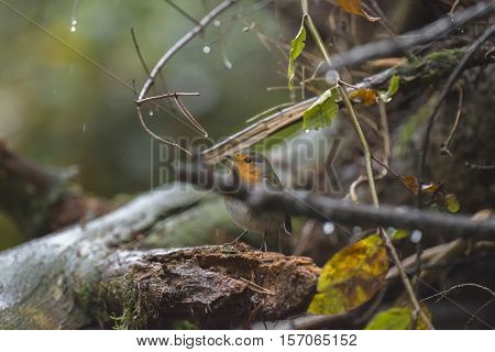 European Robin (erithacus Rubecula) Adult, Perched On Wet Twig In Rain, Overijssel, The Netherlands,