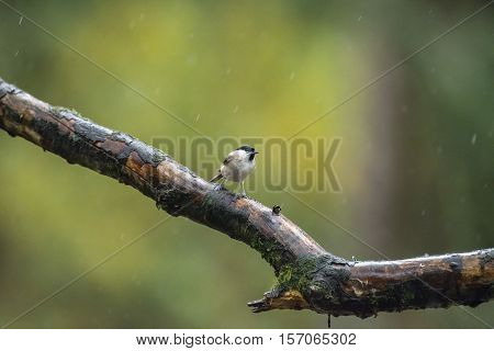 Marsh Tit (parus Palustris) Perching On Wet Branch In The Rain.