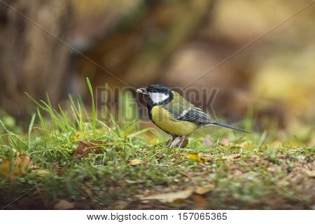 Great Tit (parus Major) Perched On Forest Ground A Seed