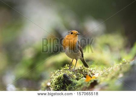 European Robin (erithacus Rubecula) Sitting On Mossy Tree Trunk In The Rain