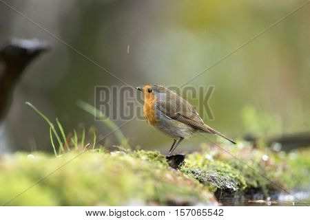 European Robin (erithacus Rubecula) Perched On Mossy Ground Near Forest Pond.