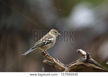 Female Common Chaffinch (fringilla Coelebs) Perching On Wet Branch In Forest In Rain.
