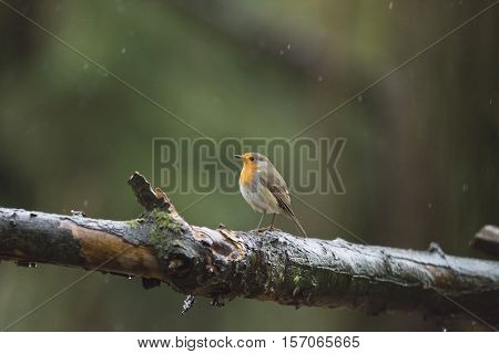 European Robin (erithacus Rubecula) Perched On A Branch In The Rain.
