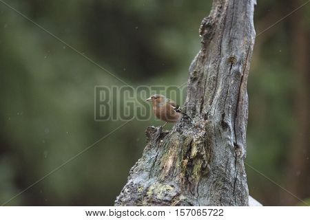 Female Common Chaffinch (fringilla Coelebs) Perched Tree Trunk In Forest In Rain.