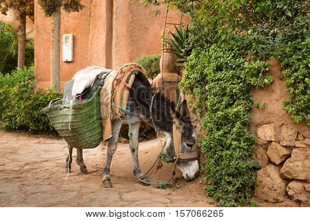 Donkey Is The Most Common Helper Moroccan Villagers.