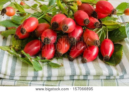 Fresh picked Rose Hips or rose haws an Autumnal fruit of the wild Dog Rose