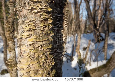 Polypore fungi grow on tree trunk in forest