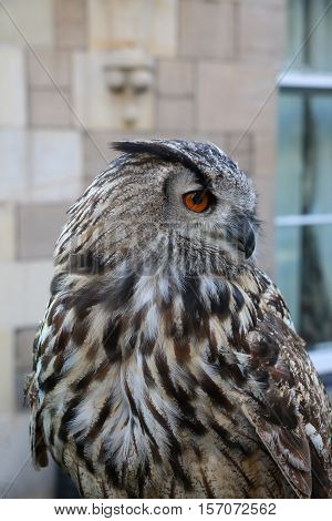 Eurasian eagle-owl, also known as European eagle-owl, (Bubo bubo). In St Andrews, Scotland, with a stone house in the background.