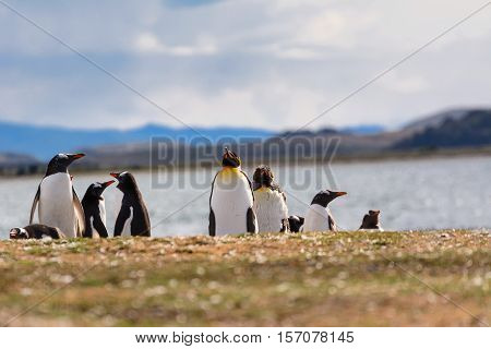 King and Papua penguin colony seaside in Patagonia