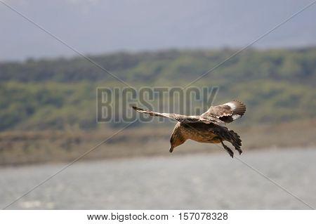 Caracara chimango flyng on Beagle Channel near Ushuaia