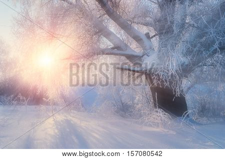Winter landscape with old frosty winter tree in the sunrise. Winter wonderland scene. Winter scene under sunrise light breaking through winter forest trees in the morning. Winter wonderland background