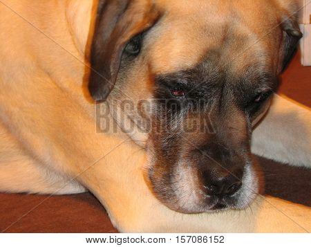 Great large sleepy eyed English mastiff dog.