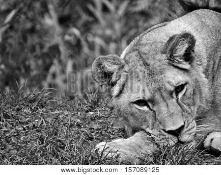 Lioness, lying Lioness, lion head. A beautiful lioness, black and white lioness.