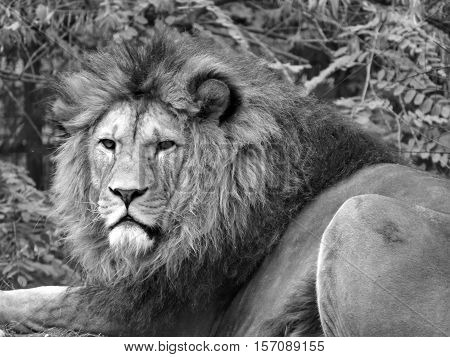 Big beautiful lion, lion with a thick mane, black and white lion, lying lion.
