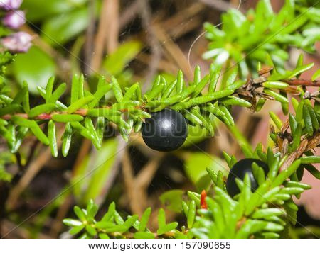 Black crowberry Empetrum nigrum berry on branch with needle-like leaves close-up selective focus shallow DOF
