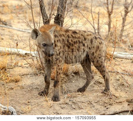 Hyena in the Kruger National Park in South Africa on the hunt for food in the warm glow of the afternoon sun.