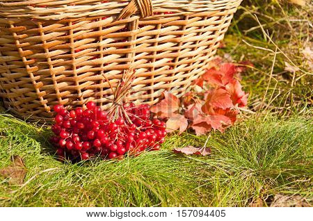 Autumn Harvest. Viburnum Berries In Basket