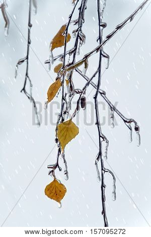 Birch branches and leaves with icicles under freezing rain