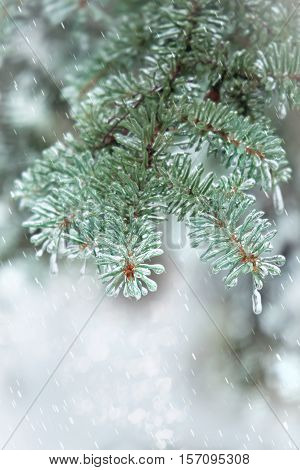 Spruce twig. Needles covered with ice. Abstract winter background.