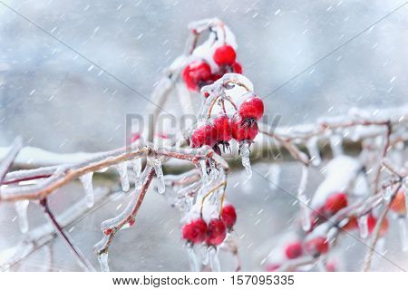 Icicles on crab apple twig formed during a winter freezing rain