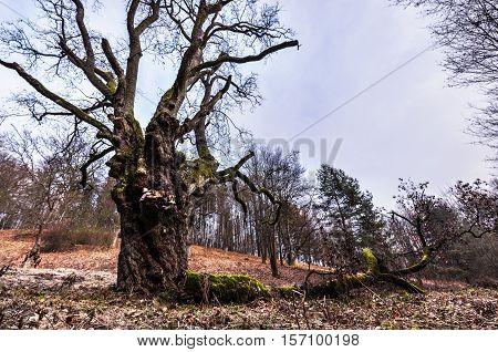 Big old tree in autumn. Moravian landscape Lysice.