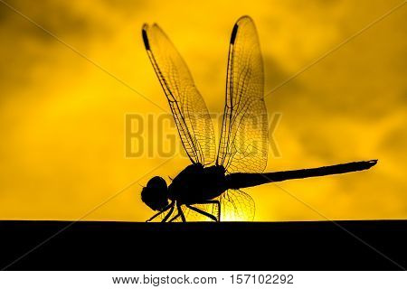 Macro of dragonfly with a silhouette background.