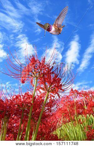Hummingbird over cloudy blue sky summer background