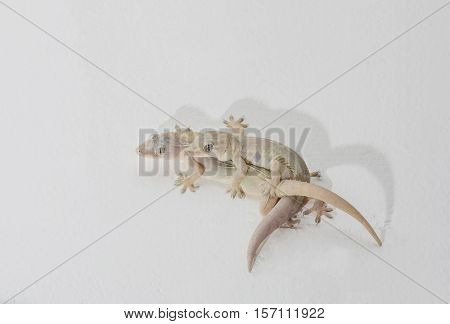 Gecko Lizard Males and females are breeding on white walls