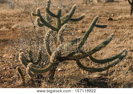 Pilosocereus Polygonus Known As