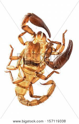 old skin of the Scorpion on white background Scorpion shed skin