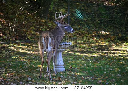 Backyard Deer - Wild deer forages in suburban backyard.