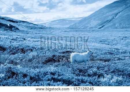 Norway sheep in cold mountains background hd