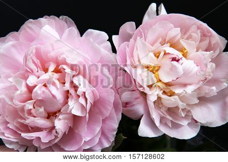 Closeup of beautiful pink Peonie flower on black background