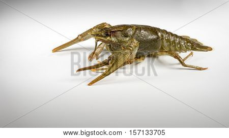 Living Crayfish closeup on white background green