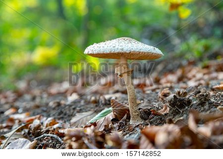 Close-up of a parasol mushroom (Macrolepiota procera or Lepiota procera) with green blurry forest background. Autumn leaves on the ground.