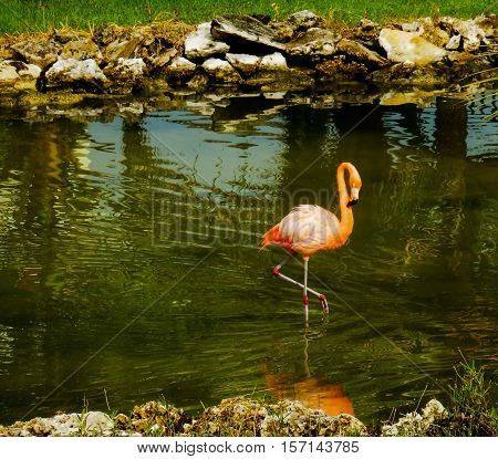 Wild Pink flamingo standing in lagoon and reflection in the water in Cayo Coco. Flamingos are found naturally in the wild in Cuba easily seen at tourist resorts in nature reserve areas genus Phoenicopterus