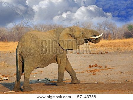 A large bull elephant standing on the african plains with trunk curled into mouth with stormy cloudy sky in Hwange National Park,  Zimbabwe, Southern Africa