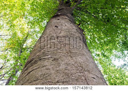Low angle view of a tall Oriental beech (Fagus orientalis) tree against the sky.