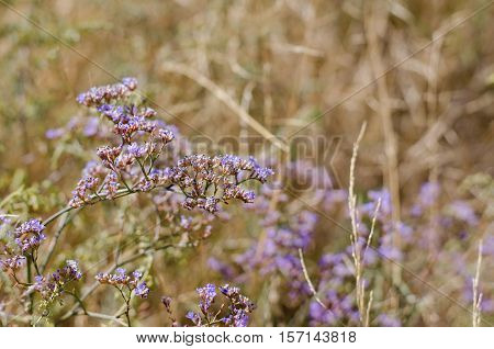 Goniolimon - dry perennial herbal plants growing in steppes selective focus
