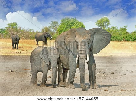 Large Elephant with ears flapping looking directly at camera, with a natural tree and blue sky background in Hwange National Park, Zimbabwe, Southern Africa