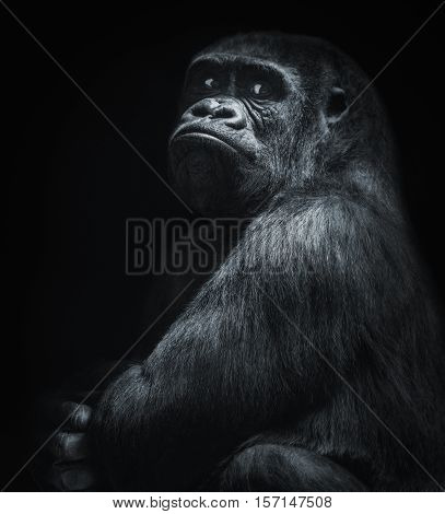 A big and nosy gorilla portrait in black and white