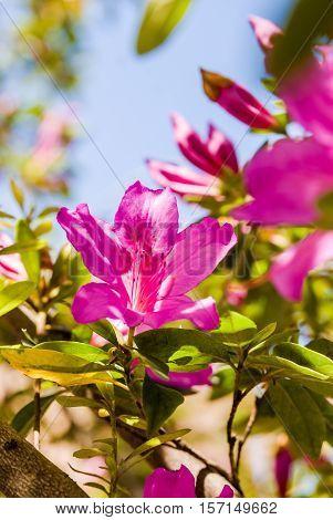 Mediterranean Pink azalea rhododendron flowers in bloom