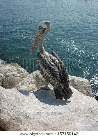 Pelícano a orillas rocosas del mar, mirando a la camara