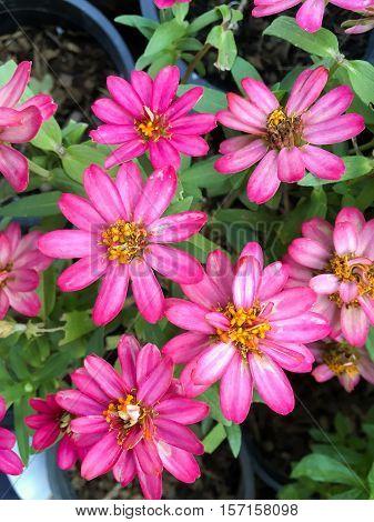 pink zinnia angustifolia flower in nature garden