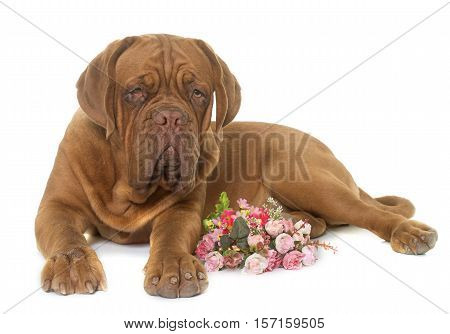 young dogue de bordeaux in front of white background