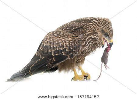 Common buzzard eating a mouse in front of white background