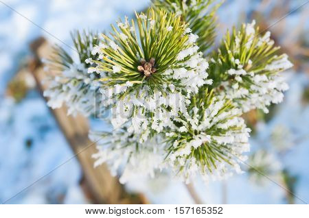 Hoarfrost On A Pine Branch