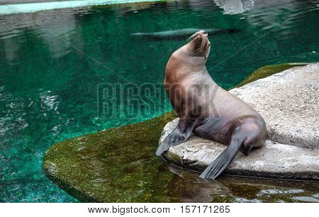 Sea lion. Fur seal sitting by the pool in a beautiful pose. Sea lion sitting on a rock looking up on a background of clear pure water. A brown fur seal sitting on a rock.