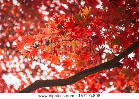 red leaves in autumn. Abstract nuture background.